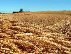 adotta un campo di grano
