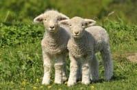 Strage degli agnelli a Pasqua, perché fermarla (video). Non si giustifica né con la religione né con la cucina