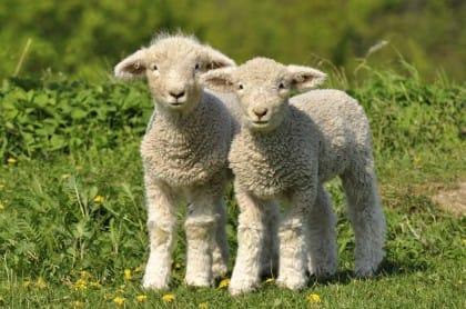 Strage di agnelli a Pasqua, è diminuita del 10 per cento. Ma si può fare di più contro questa falsa tradizione (video)