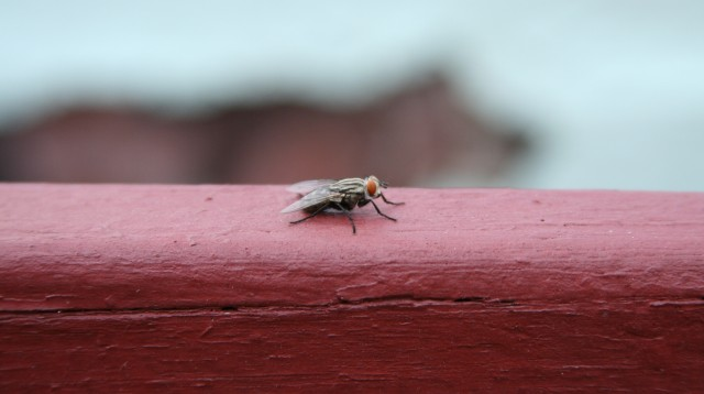 I rimedi naturali per allontanare le mosche dalla cucina