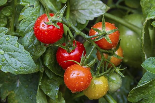 Come coltivare i pomodori in vaso o nell'orto, un alimento simbolo della dieta mediterranea