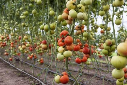 Come coltivare i pomodori in vaso o nell'orto