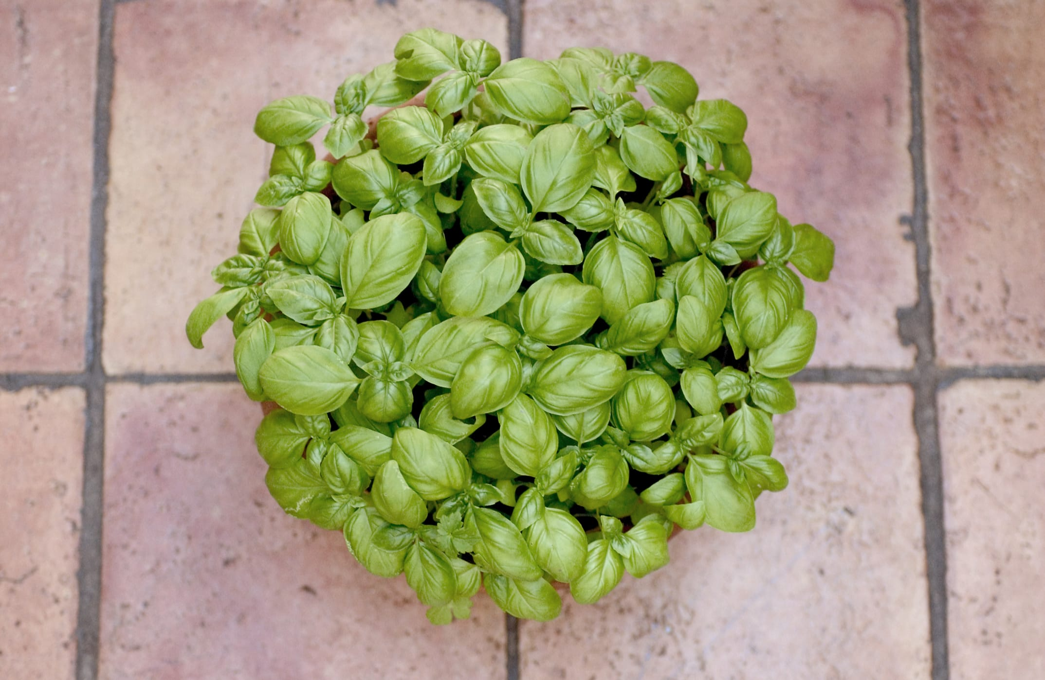 Basilico: coltivatelo al sole e in terra umida. Le prime foglie potete coglierle dopo un mese