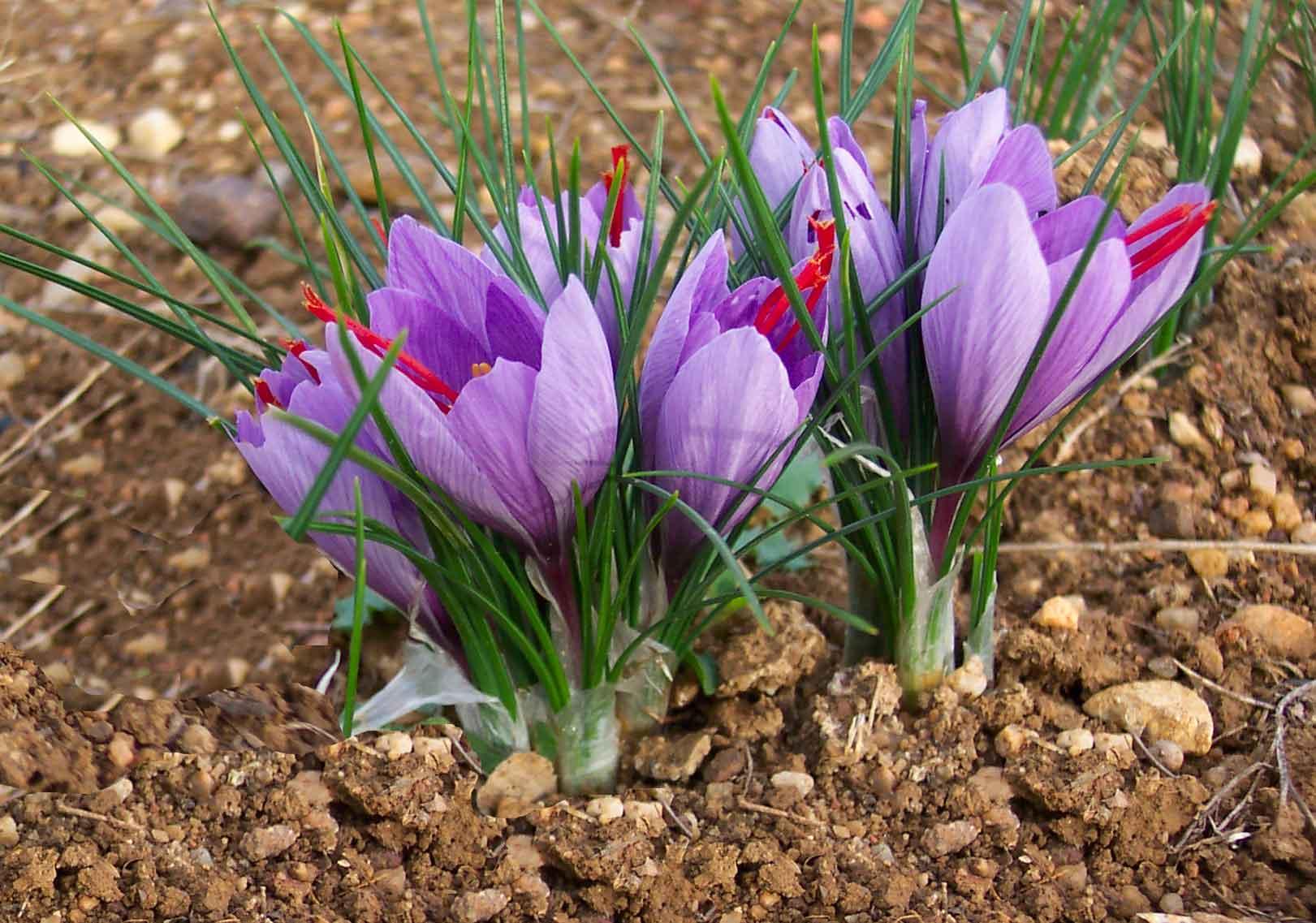 Pianta di zafferano - Foto da www.nonsprecare.it