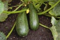 Consigli per coltivare le zucchine in vaso