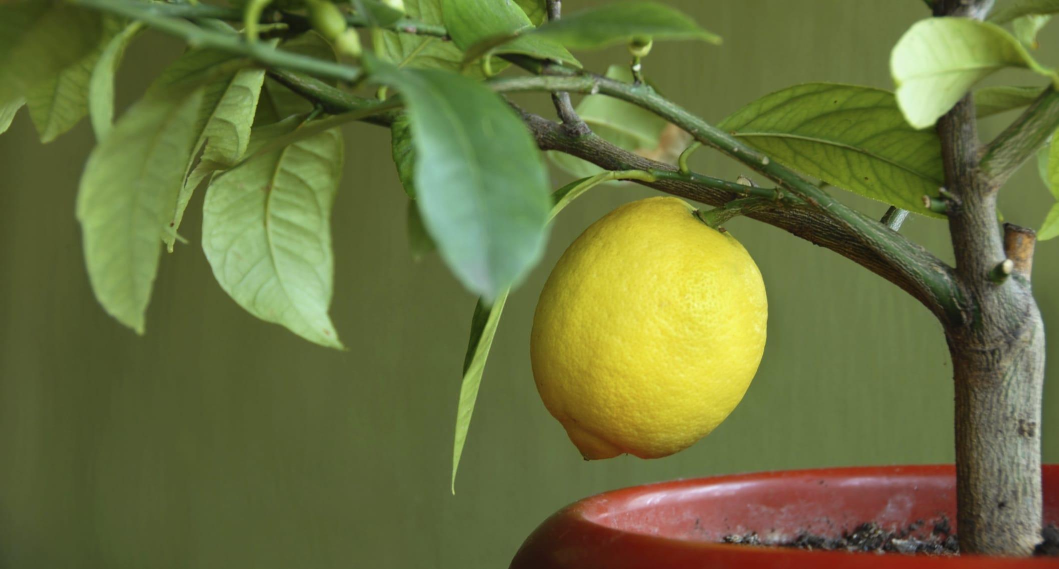 Il limone for Limoni in vaso