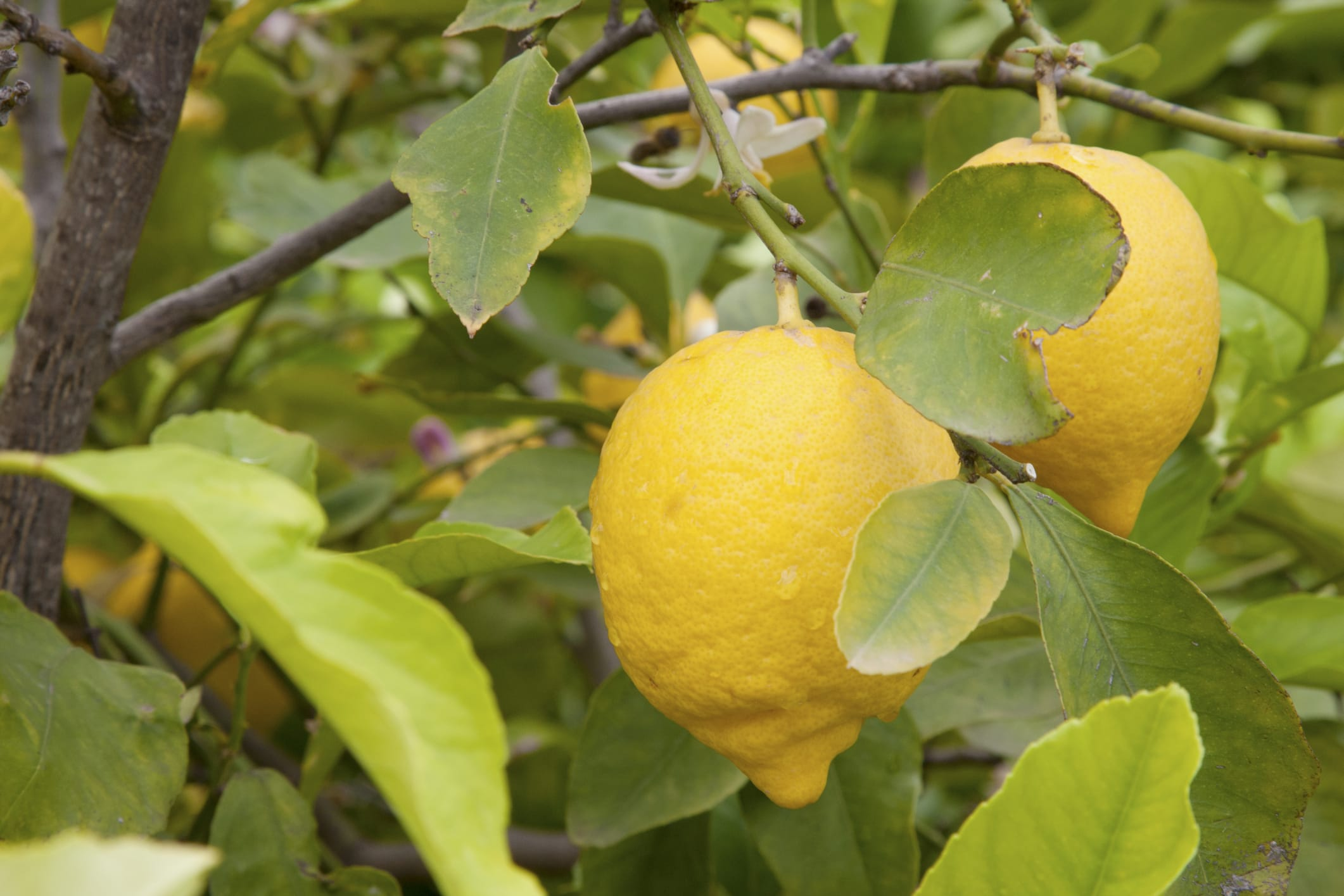 Come coltivare i limoni in vaso non sprecare for Potatura limoni in vaso
