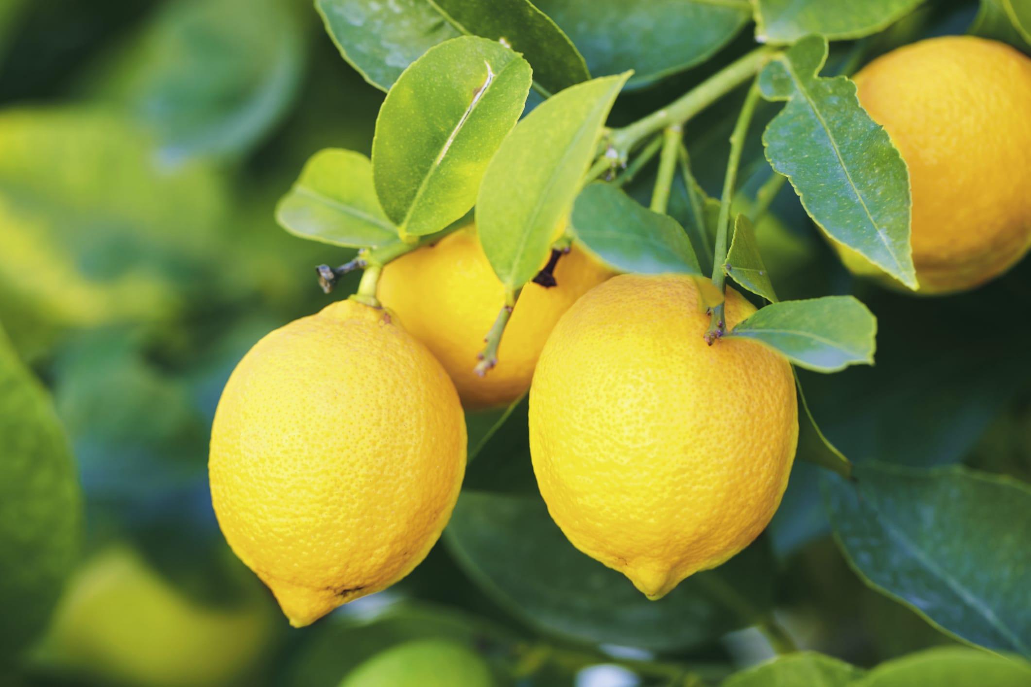 Come coltivare i limoni in vaso non sprecare for Coltivare limoni