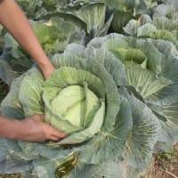 verdure-stagione-invernale-proprieta-nutritive-cavolo-benefici-salute (8)