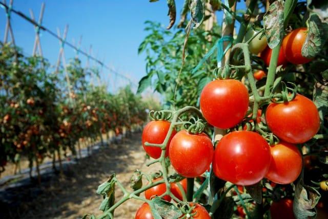 come-coltivare-i-pomodori-in-vaso (2)