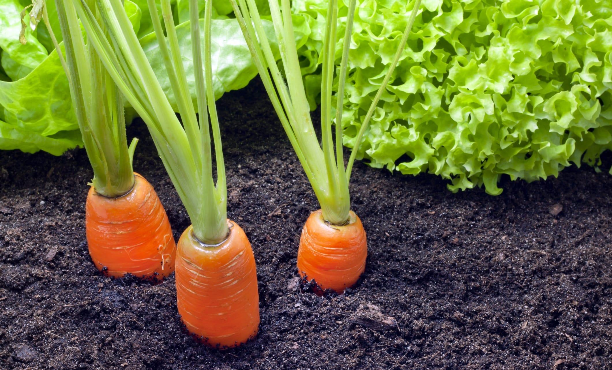 Come coltivare le carote in vaso
