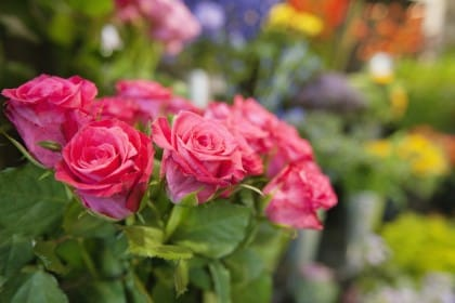Rose per tenere lontane le mosche