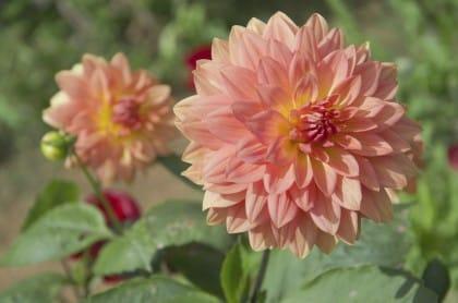 Crisantemi, utili contro mosche e zanzare