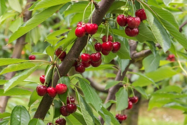 ciliegie-proprieta-nutritive-salute (3)
