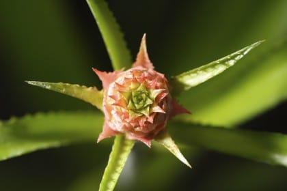 fiore di ananas
