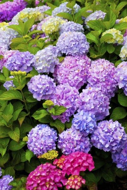 Fioritura Ortensie Azzurre : Come coltivare ortensia in vaso sempre rigogliosa non