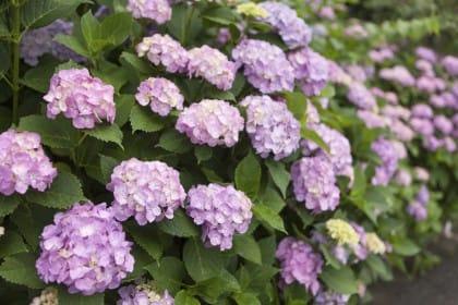 come coltivare l'ortensia in vaso: la fioritura
