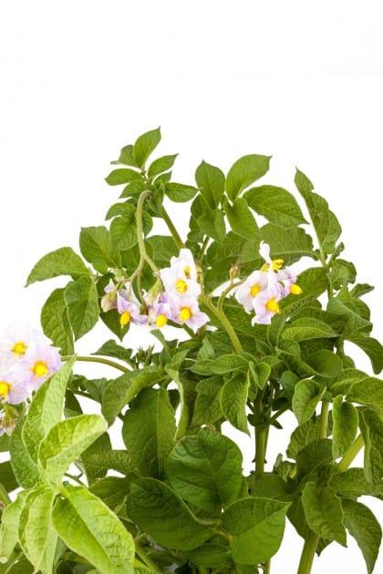 patate: come coltivare in vaso