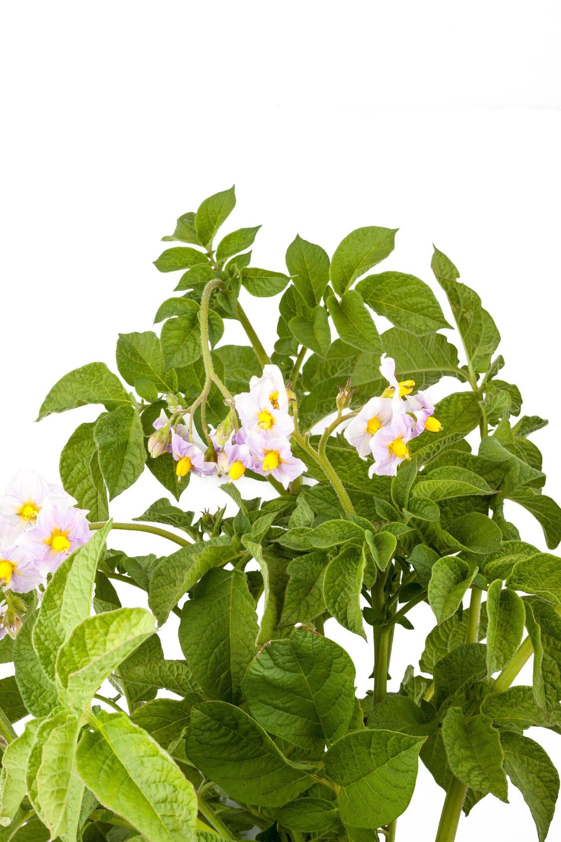 Come coltivare le patate in vaso non sprecare for Coltivare more in vaso