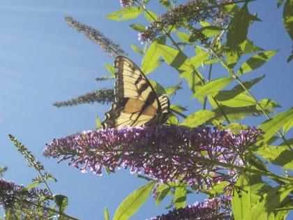 buddleia, l'albero delle farfalle. Come coltivarlo