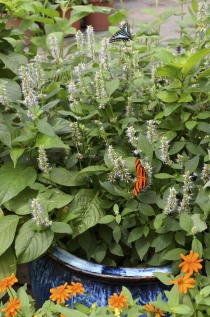 Buddleia e farfalla