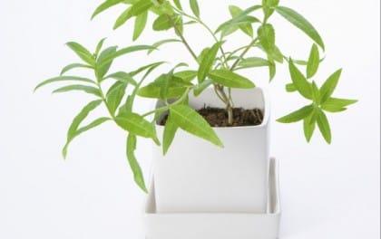 coltivare la citronella in vaso: ecco come fare