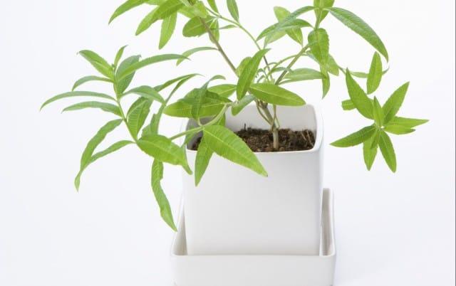 Come coltivare la citronella in vaso e in giardino non sprecare - Contro le zanzare in giardino ...
