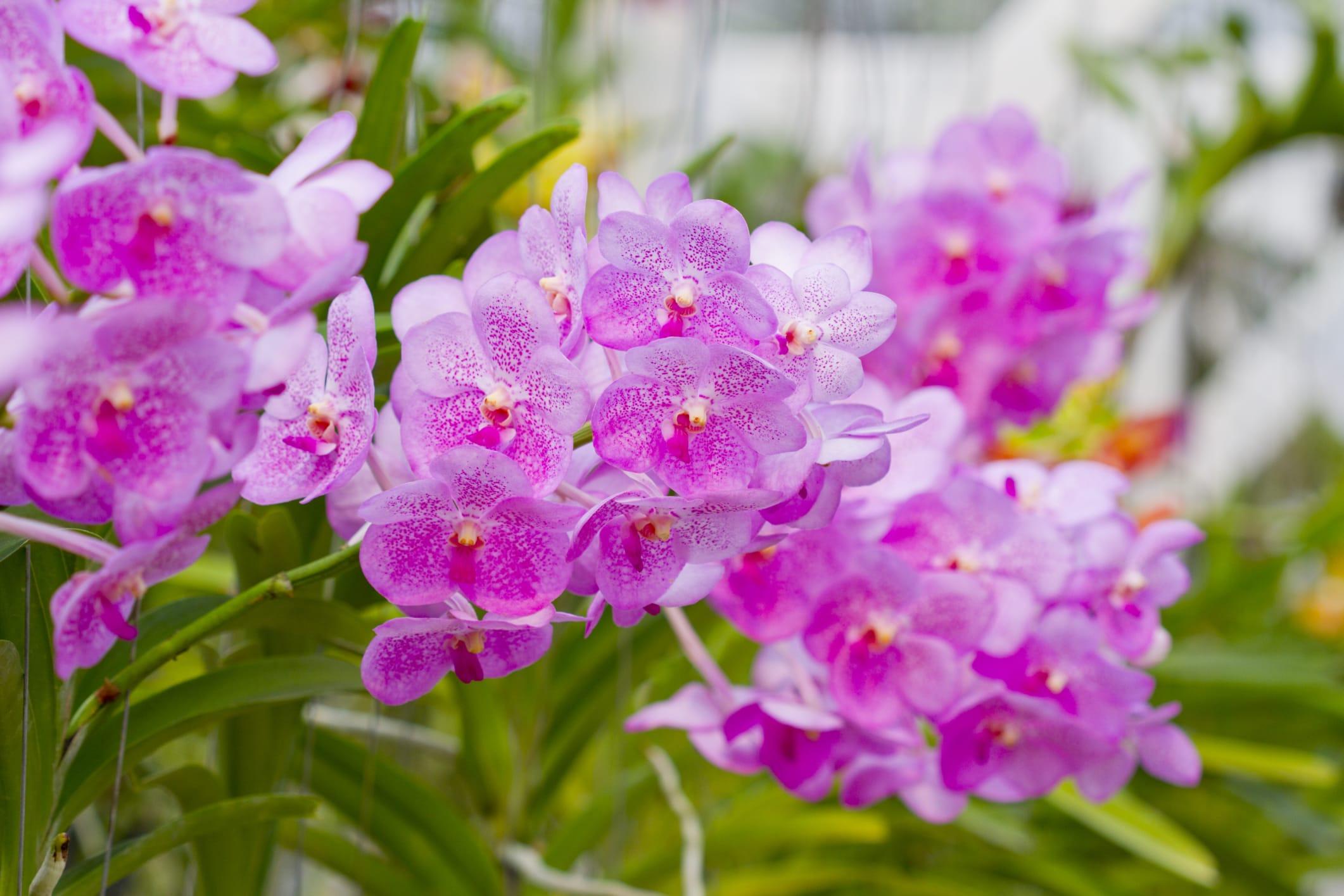 Come coltivare le orchidee non sprecare for Orchidee in casa
