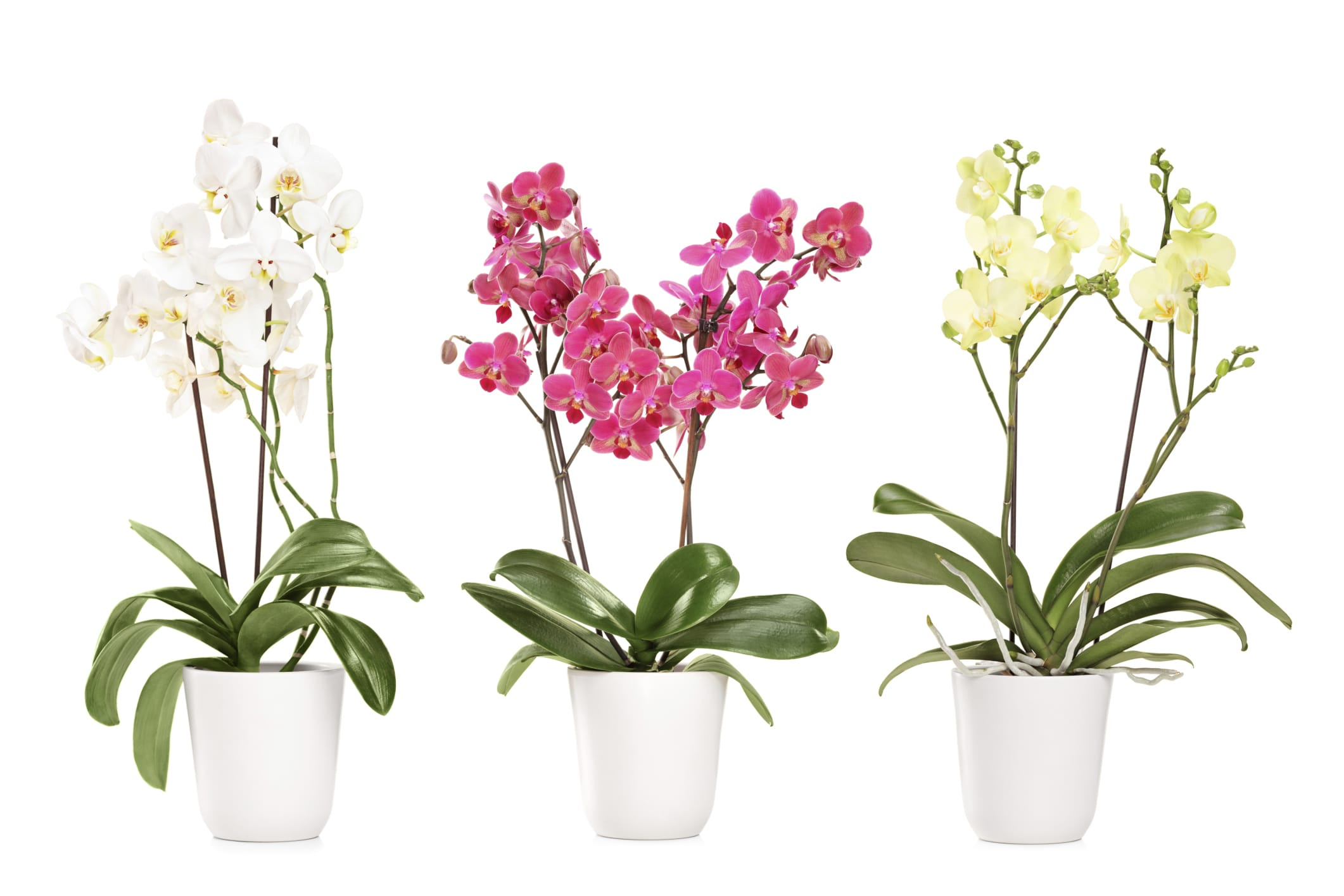 come coltivare le orchidee non sprecare. Black Bedroom Furniture Sets. Home Design Ideas