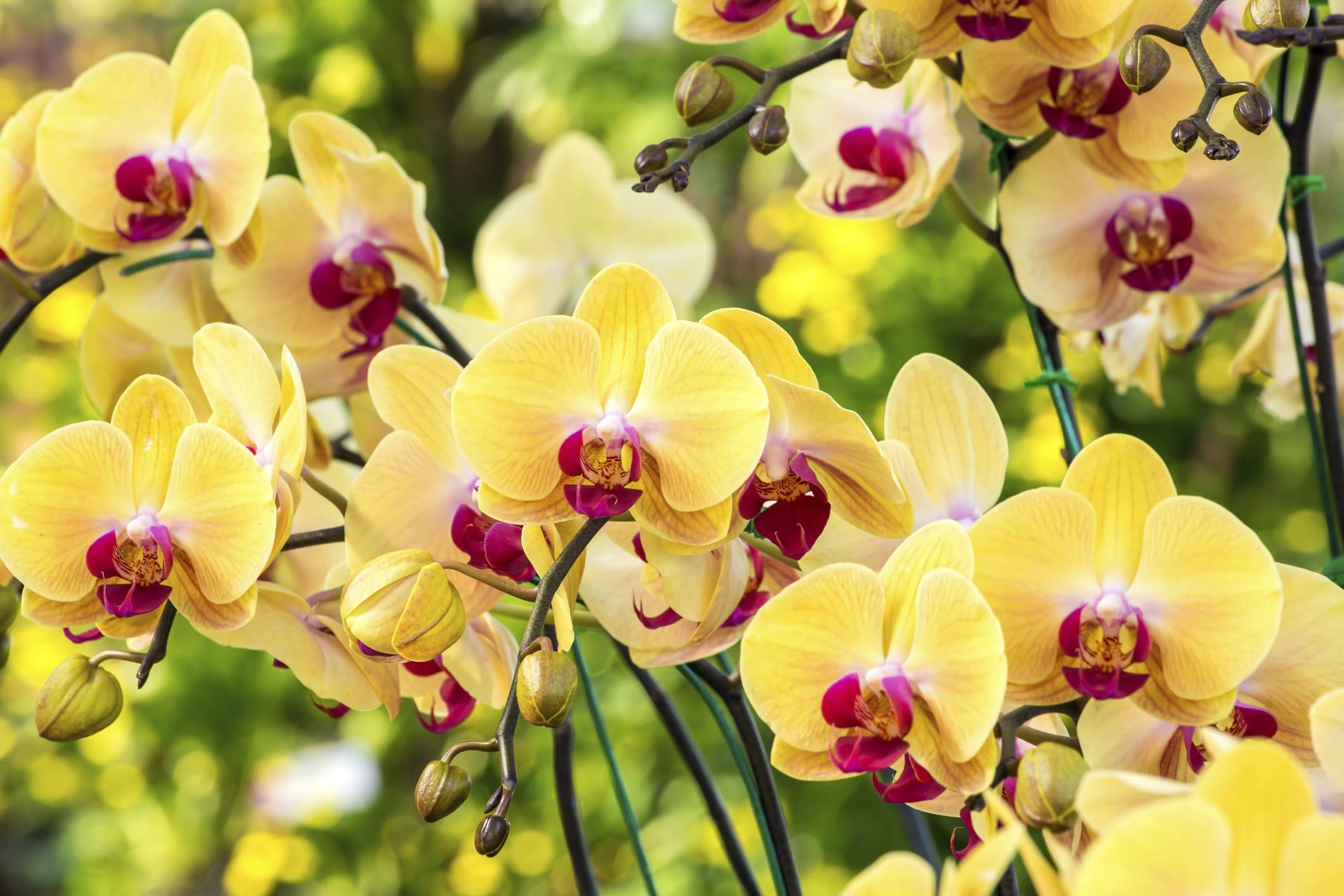 Come coltivare le orchidee non sprecare for Orchidea foglie gialle