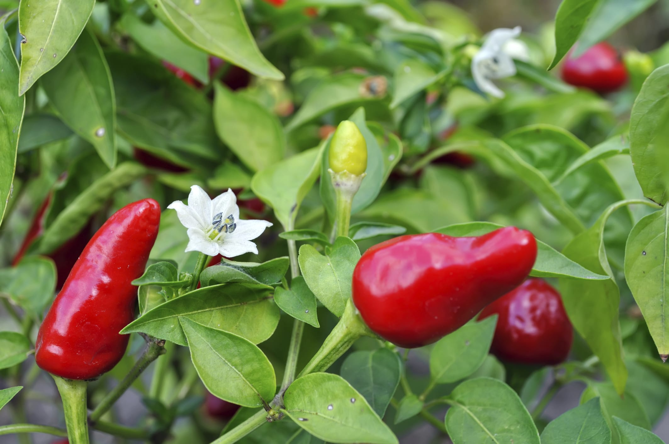Come coltivare peperoncini in vaso sul balcone non sprecare for Pianta peperoncino