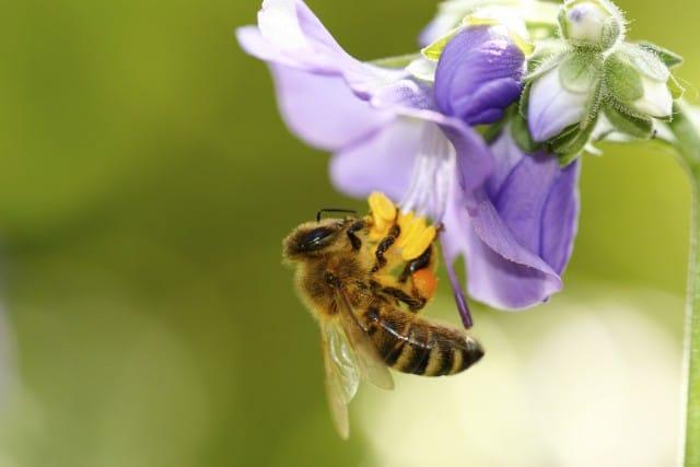 Che succede se spariscono le api? Intanto sappiamo che hanno un cervello molto attivo (Video)