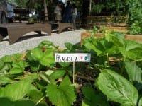 Fragole coltivate a scuola