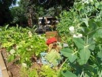 Le verdure coltivate a scuola