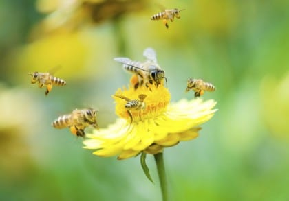 Come salvare le api: l'impegno di Barack Obama per mettere in sicurezza l'economia agricola degli Stati Uniti