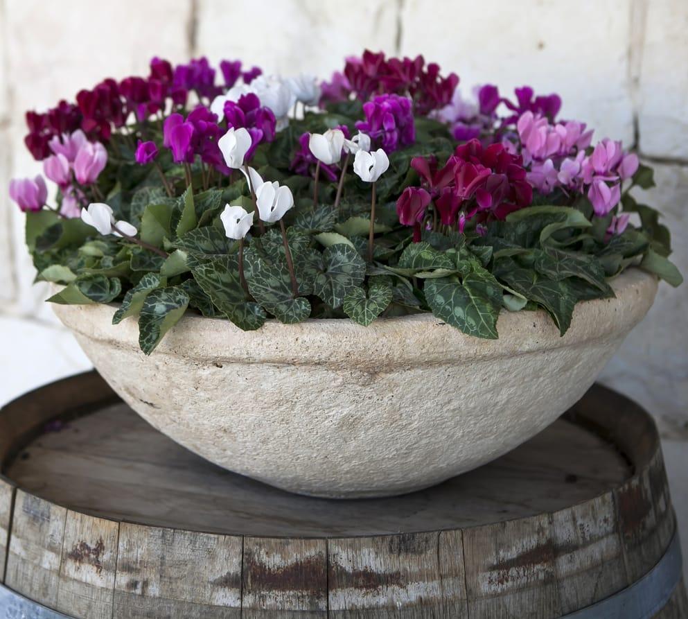 Come coltivare il ciclamino non sprecare for Vasi per semina