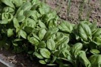 Come coltivare gli spinaci nell'orto o in vaso sul balcone. Evitate compost ricco di azoto