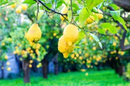 Piantagione di limoni