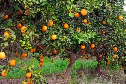 Adottare un albero di arance online