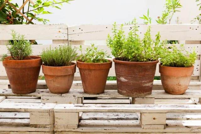 come-coltivare-timo-in-casa-vaso-balcone (2)