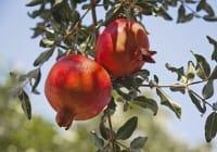 Come coltivare il melograno in giardino o in vaso. La raccolta inizia nel mese di ottobre