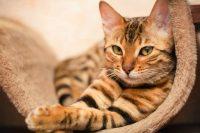 Pulci dei gatti: eliminatele con questi rimedi naturali. Dall'aceto a limone e bicarbonato (foto)