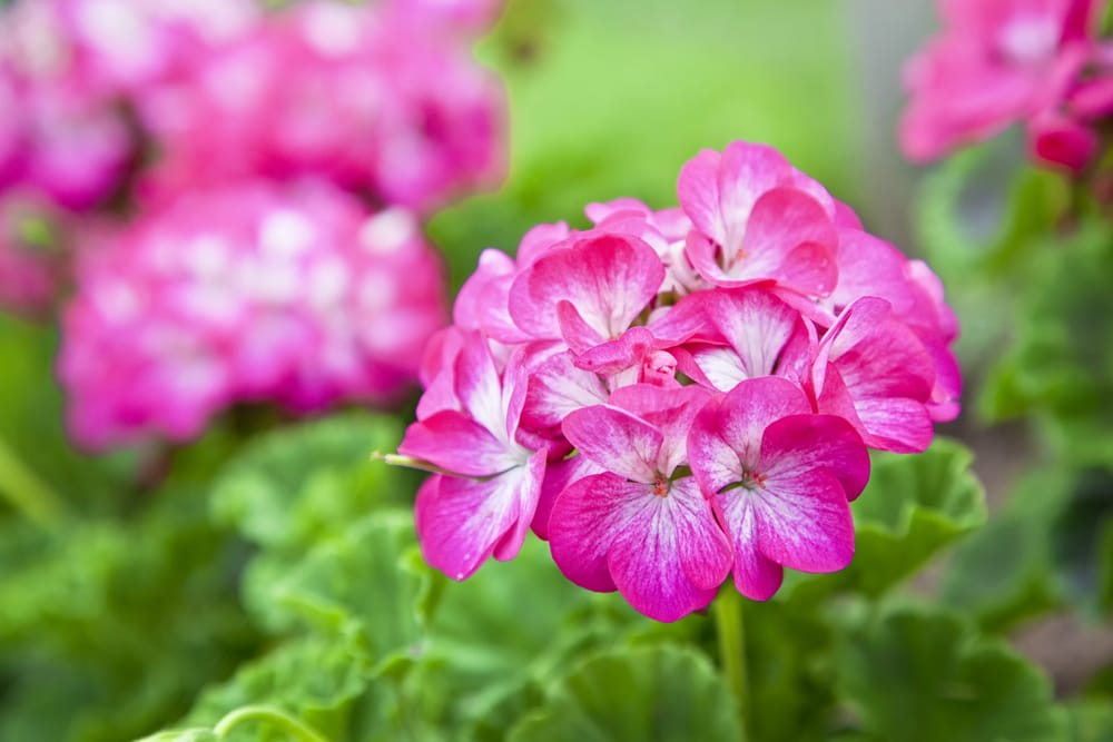 Come coltivare gerani in vaso belli e duraturi non sprecare for Fiori gerani
