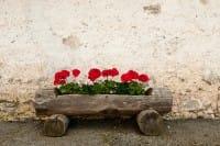 Come coltivare i gerani in vaso, una pianta perfetta per decorare il balcone (Foto e video)
