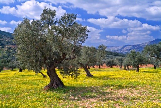 Ulivi a rischio in puglia e in italia i danni ambientali for Acquisto piante ulivo
