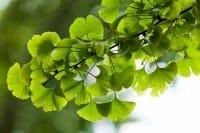 foglie di ginkgo biloba