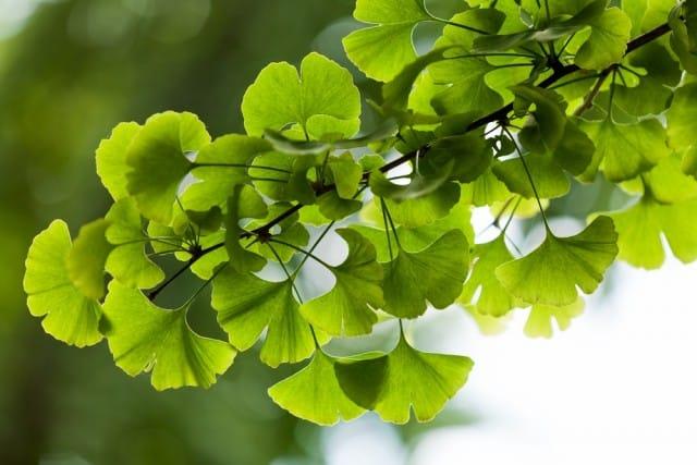 Ginkgo biloba: tutti i benefici di una pianta millenaria
