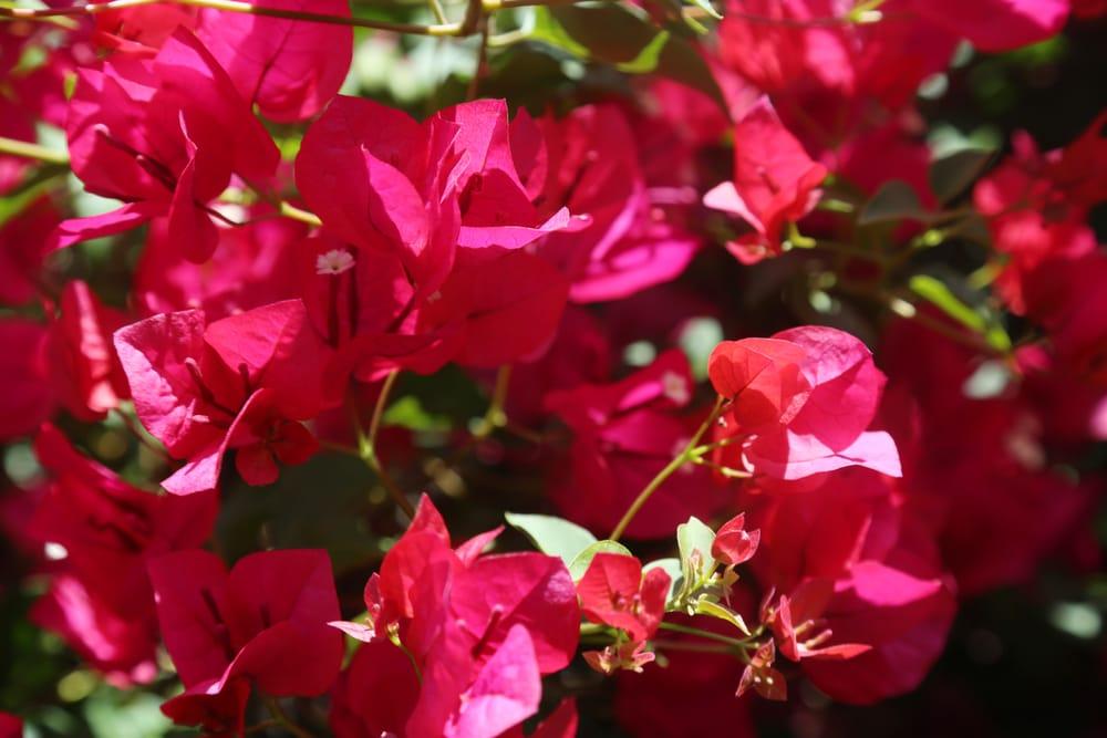 Come coltivare la bouganville non sprecare for Bouganville fioritura