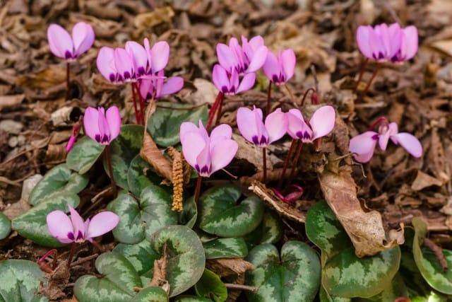 come-coltivare-ciclamino-vaso-giardino-guida-indicazioni-utili (3)