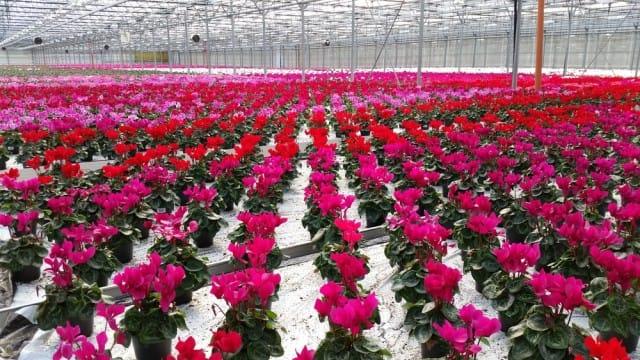 come-coltivare-ciclamino-vaso-giardino-guida-indicazioni-utili (4)
